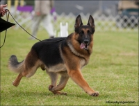 Pine Hills German Shepherd Dogs