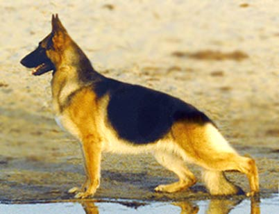 Beautiful GSD