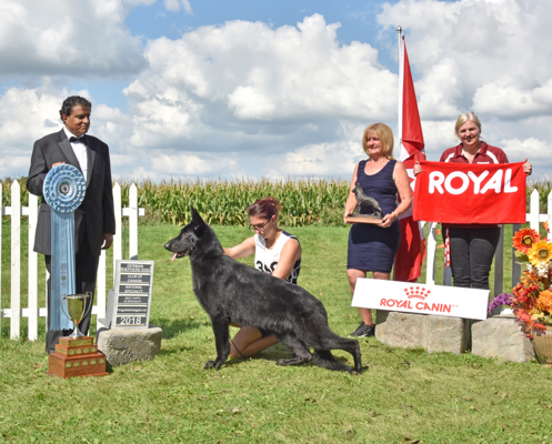 """Amaze"" winning Best Puppy at the 2018 German Shepherd Dog Canadian National Specialty Show from the 9-12 class."